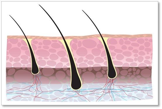 The hair follicle and dermal papilla can only grow if they have the right nutrients and blood conditions.