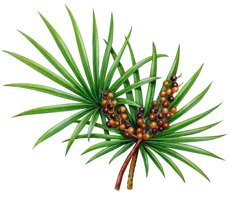 A saw palmetto leave