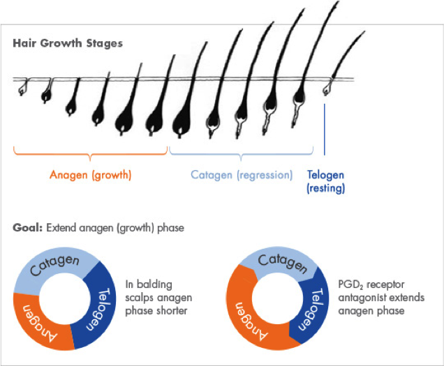 The stages of hair growth that are affected by the PGD2 receptor