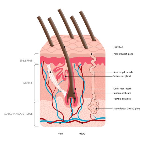 improve oxygen flow scalp scalp tissue diagram electrical wiring diagram \u2022