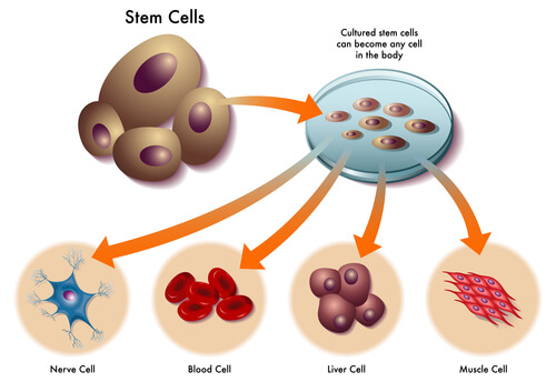 Stem cells can become any cell within the body