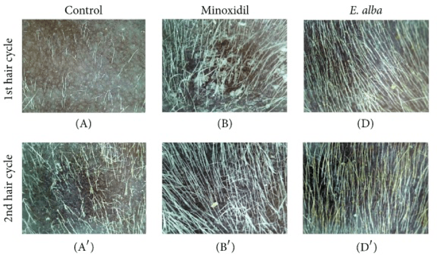 E.Alba rapid hair growth on mice after 16 days topical application compared to Minoxidil