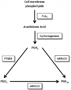 arachidonic acid cascade and production of PGD2