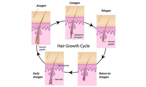 The hair growth cycle - anagen, catagen, telogen.