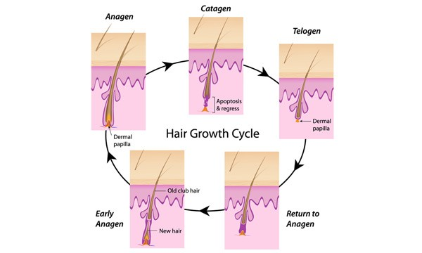 The hair growth cycle - anagen, catagen, telogen.