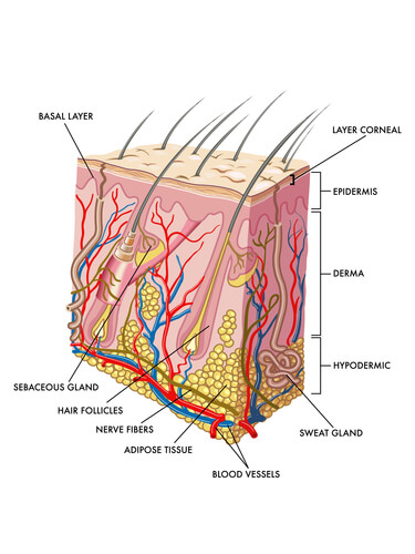 The sebaceous gland, as seen in a model of the hair follicle.