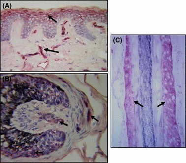 Hair follicle synthesis in the dermal layer