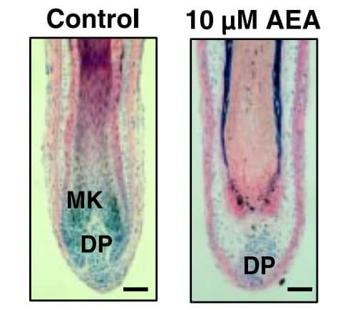 A side-by-side comparison of hair shaft length in the control group and AEA (cannabinoid) group