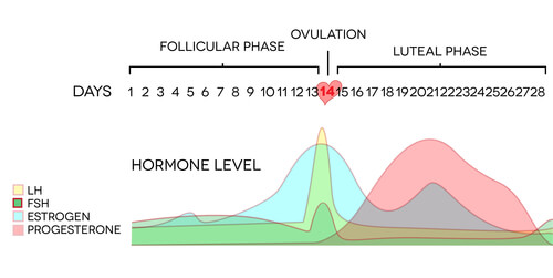 Hormone levels throughout a menstrual cycle