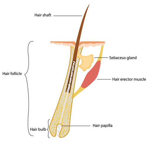 The anatomy of the hair, including the dermal papilla