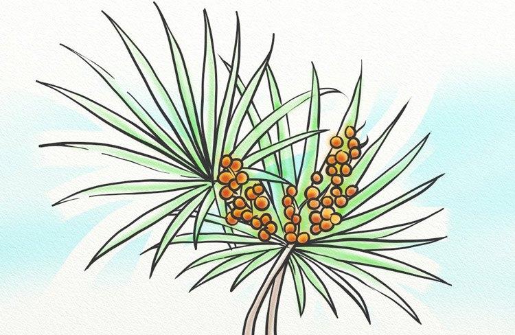 The saw palmetto leaf can help to inhibit 5AR.