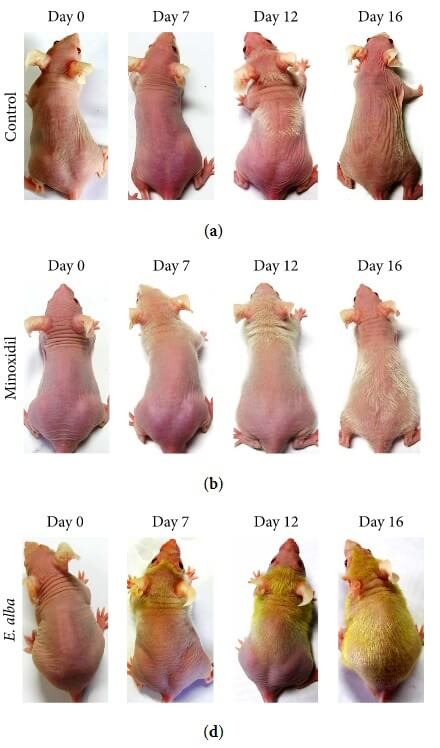 The results of a study showing the difference between eclipta alba treated mice and minoxidil-treated mice