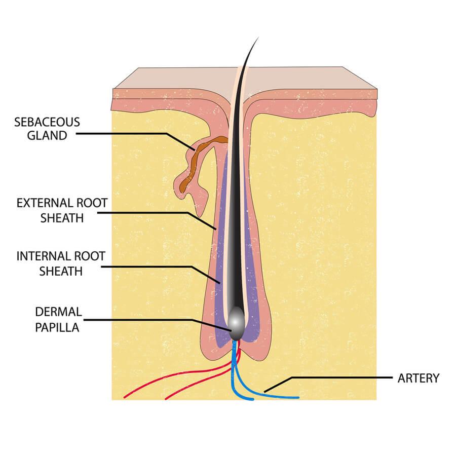 Vellus Hair to Terminal Hair – 47 Ways To Rebirth Hair Follicles