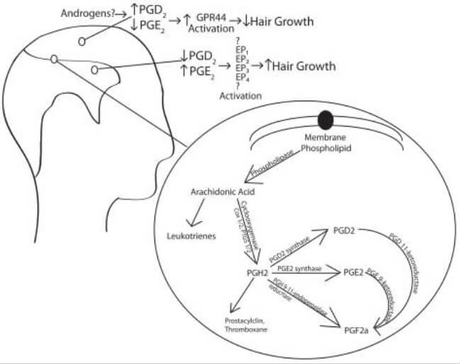 Arachidonic acid cascade