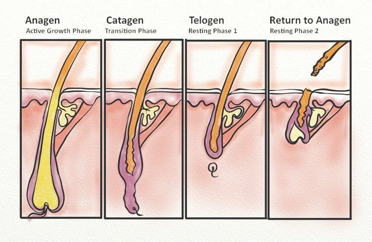 The phases of hair growth: anagen, catagen, and telogen