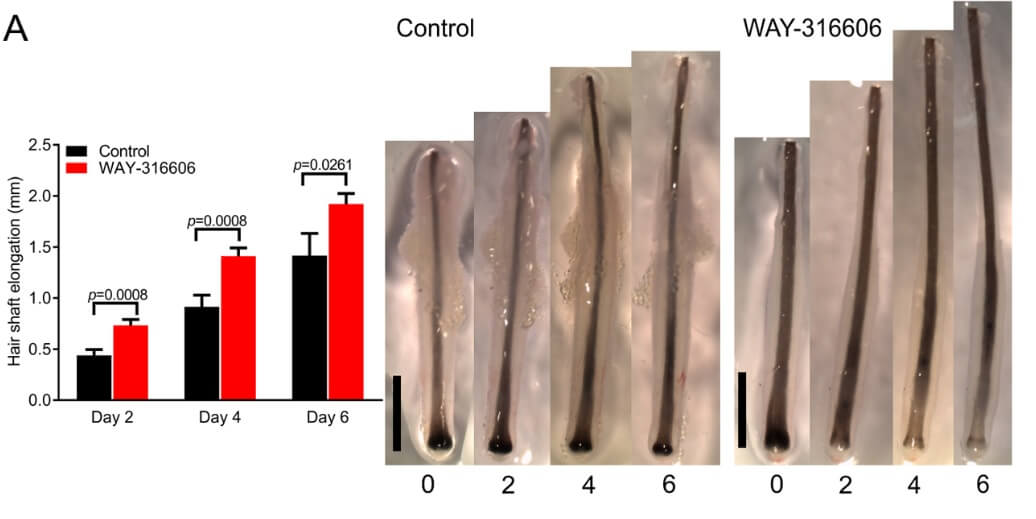 The positive effects of WAY-316606 on hair shaft elongation