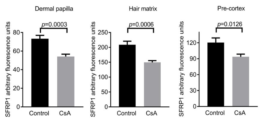 The presence of protein SFRP1 in various parts of the hair follicle