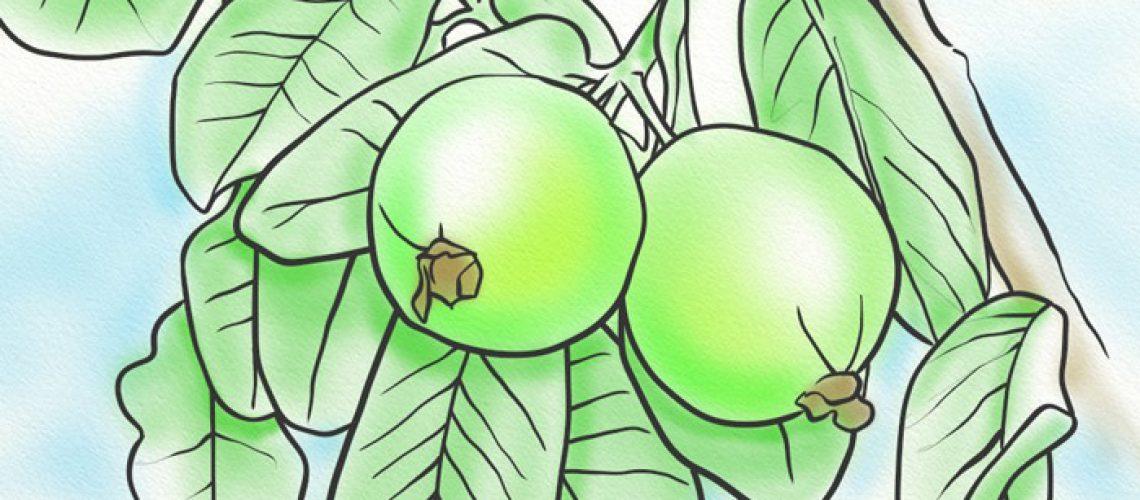 guava_leaves_jm