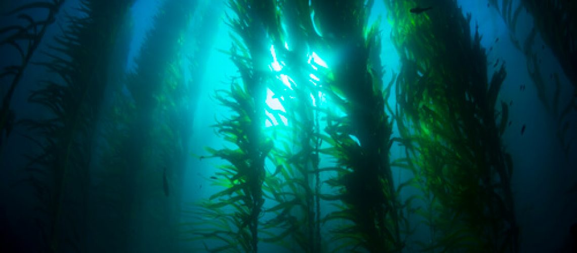 A bed of seaweed in the ocean