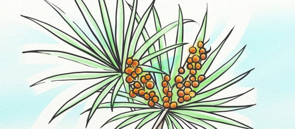 The saw palmetto leaf can help to inhibit 5AR.